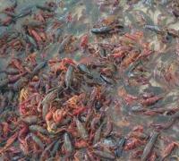小龙虾放养的时间安排