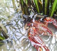 小龙虾池塘中长青苔怎么办,池塘中长青苔的防治措施