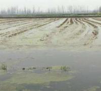 小龙虾池塘中青苔大量繁殖的原因,青苔的危害及处理办法