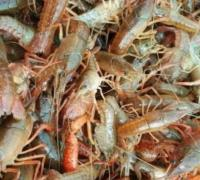 一亩田投放多少小龙虾,一亩地要放多少虾苗