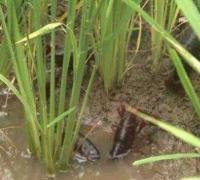 稻田养小龙虾怎么安排捕捞时间,多久捕捞一次好