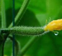 黄瓜种植前的温度要求