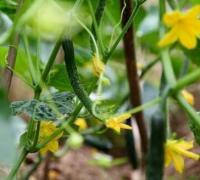 黄瓜种植时的管理要点,五大要点助黄瓜产量增高
