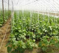 黄瓜定值的条件与定值要求有哪些