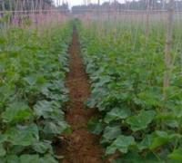 黄瓜露地栽培的技术要点