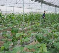 大棚黄瓜的种植经验,种好黄瓜就靠这八点