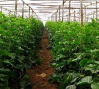 不同温室大棚黄瓜的肥料用量