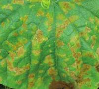 黄瓜黑斑病的几种症状,黄瓜黑斑病的防治措施