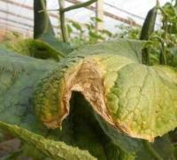 黄瓜烂头的三种病因,黄瓜烂头的防治方法