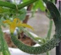 怎么防治黄瓜弯曲,黄瓜弯曲瓜的防治方法