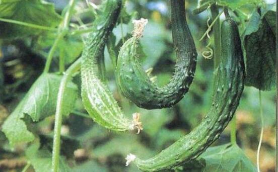 黄瓜尖嘴瓜的防治方法