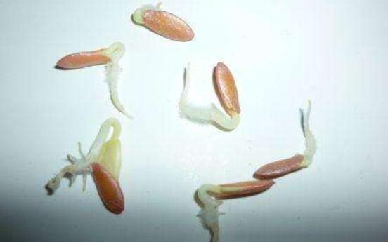 黄瓜种子催芽的一般方法