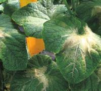 黄瓜叶烧的病因与危害,黄瓜叶烧的防治方法