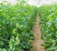 大棚黄瓜怎么选种,大棚黄瓜怎么育亩
