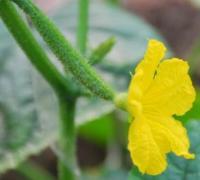 黄瓜怎么多生雌花,在喷施农药上下功夫