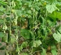 黄瓜为什么死棵,黄瓜死棵的几种原因