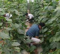 夏黄瓜肥料补施的注意事项