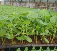 黄瓜种子浸种的常用方法
