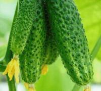 黄瓜种子催芽的适宜温度是多少