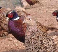 山鸡的饲料有哪些,山鸡的日粮饲料种类