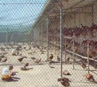 养山鸡时的消毒要求,从鸡场到鸡舍通通要消毒