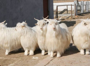 绒山羊的品种特点