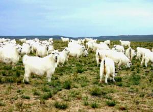绒山羊价格怎么样,绒山羊多少钱一只