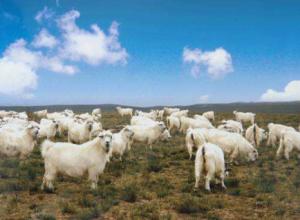 圈养绒山羊的注意事项