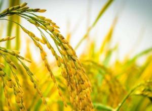 水稻什么时间施肥好,怎么施肥