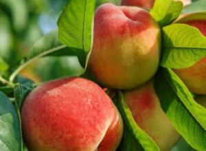 桃子的产地分布