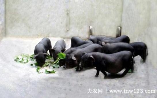 珠江香猪的外形特征