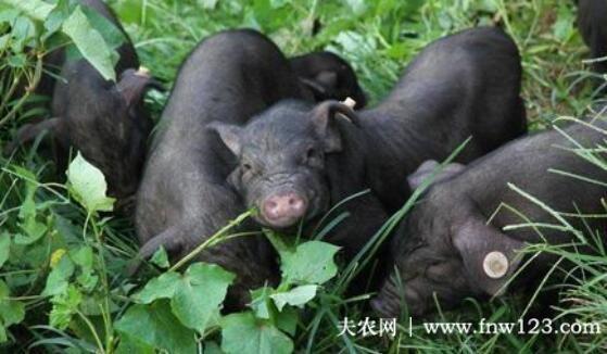 从江香猪的体形外貌,从江香猪的生活习性