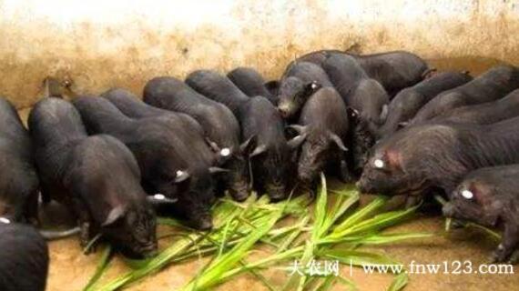 珠江香猪的食用功效,珠江香猪的营养价值