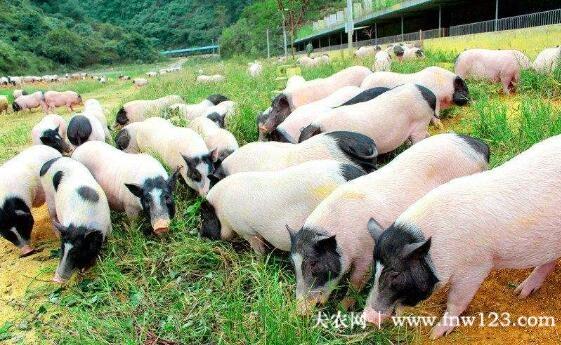 巴马香猪生长速度怎么样,一个月能长多少斤