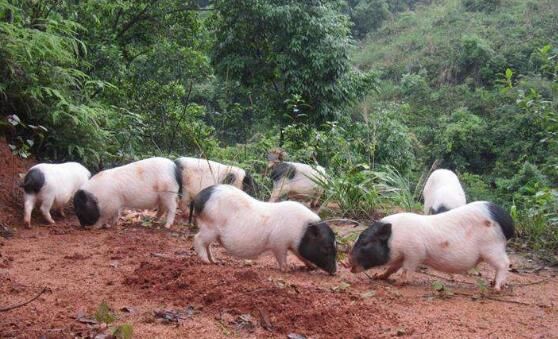养殖巴马香猪喂哪些饲料