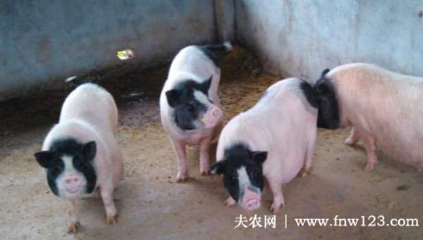 巴马香猪的种猪价格多少钱
