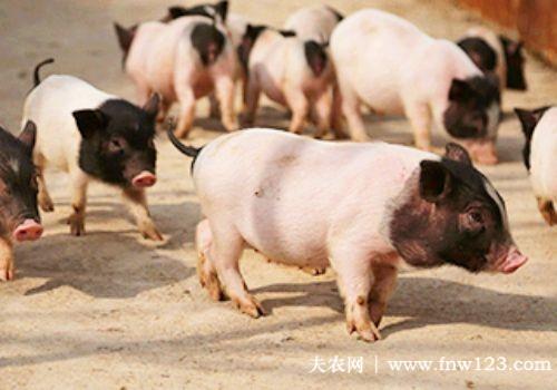 香猪养殖注意这四点,小香猪长得肥又壮
