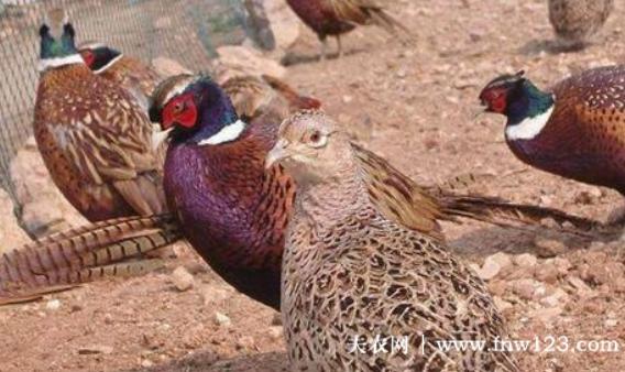 山鸡的养殖利润怎么样