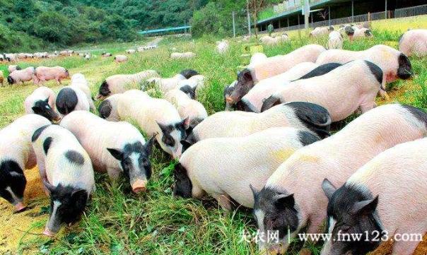 广西巴马香猪肉香味美,120城出栏卖出好价钱
