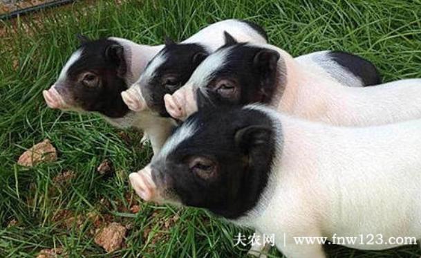 猪中名门:巴马香猪,宋朝时就已是皇室贡品
