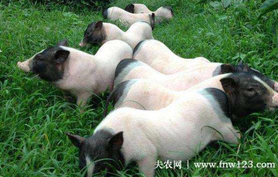 巴马香猪的仔猪管理的6个要求