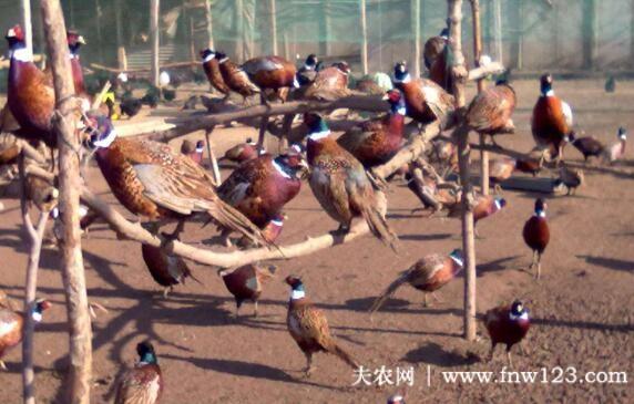 七彩山鸡的孵化条件与孵化过程详解