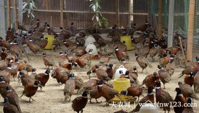养野鸡要合法,养殖野鸡时,这些养殖手续一定要办