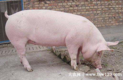 母猪不发情怎么办,四种治疗方案看一看
