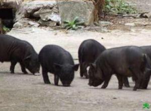 香猪品种之珠江香猪,体轻肉美的优质地方香猪