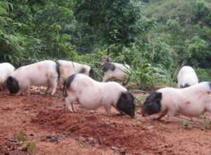 巴马香猪与七里香猪及十里香猪什么关系
