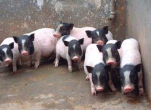 养殖巴马香猪有哪些销路?