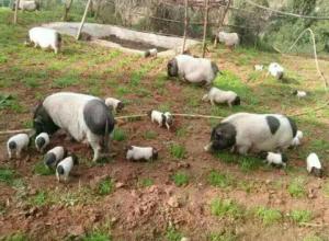 饲养巴马香猪要注意的几个问题