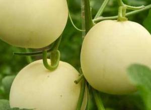香瓜的主要产地在哪