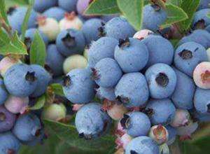 蓝莓的主要产地在哪